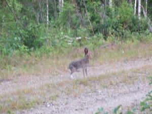 Haren fångades också på bild. Fantastiska djur!