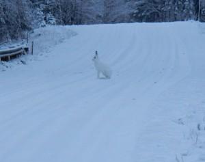 Hare (Foto Göran Blixt)